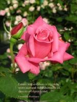 Grußkarte zum Internationalen Frauentag mit rosa Rose und einem deutschsprachigem Zitat von Emmeline Pankhurst: Frauen sind erst dann erfolgreich, wenn niemand mehr überrascht ist, dass sie erfolgreich sind.