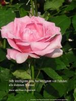 """Grußkarte zum Internationalen Frauentag mit weißer Rose und einem deutschsprachigem Zitat von  Maria von Ebner Eschenbach: Marie von Ebner-Eschenbach: """"Eine kluge Frau hat Millionen Feinde – alle dummen Männer."""