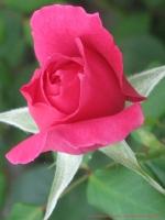 Eine Blanco-Karte mit roter  Rose.