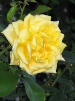 Kartengruß mit gelber Rose