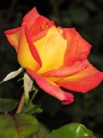 Kartengruß mit orange gelber Rose