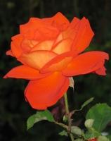 Kartengruß mit oranger Rose