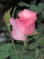Kartengruß mit rosa Rose 1