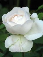 Kartengruß mit weißer Rose