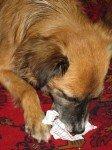Glueckshunderl Zwetschke nach der Ziehung