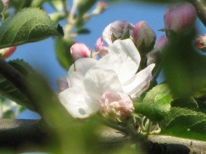 Wilder Apfelbaum - Blueten