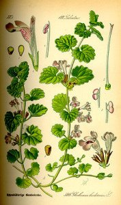 283px-Illustration_Glechoma_hederacea0