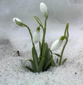 Ein Frühlingsbote: schneeumgebenes Schneeglöckchen, Blüten noch ungeöffnet
